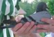 pigeondass